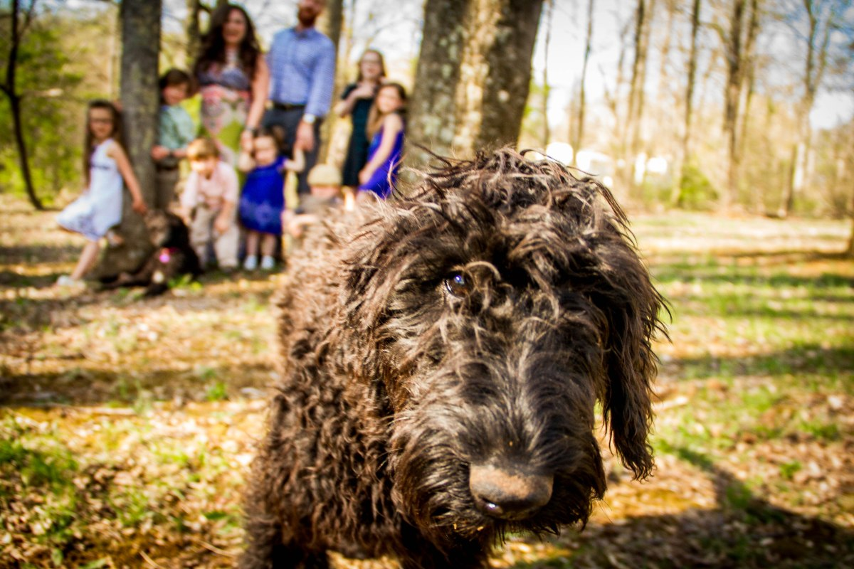 Available Puppies – Neverland Doodles